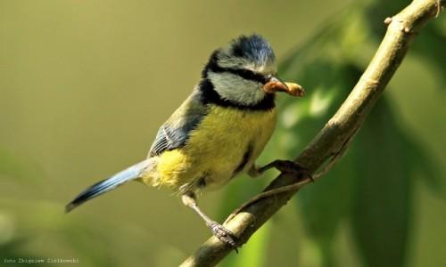 Zdjecie POLSKA / Dolina Noteci / Nadnoteckie łęgi / Pora karmienia-sikora modra (Cyanistes caeruleus)