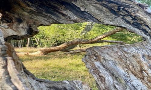 Zdjecie POLSKA / Pomorskie  / ŁEBA  / Drzewo przed wydmami Łeba