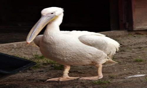 Zdjecie POLSKA / Kaszuby / Wejherowo / Wejherowo, pelikan