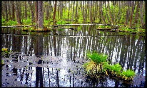 Zdjecie POLSKA / Mazowsze / lasy spalskie / las