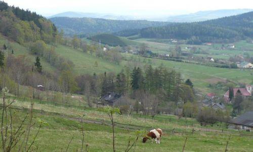 Zdjecie POLSKA / Góry Sowie / gdzieś po drodze do Jugowa / Zdjęcie z Krową