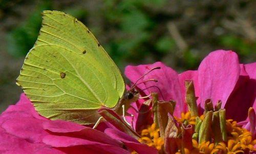 Zdjecie POLSKA / Śląsk / Bytom / Kwiatowa uczta motyla