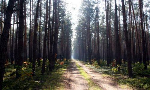 Zdjecie POLSKA / puszcza kozienicka / kiele Ryczywołu / lesna droga
