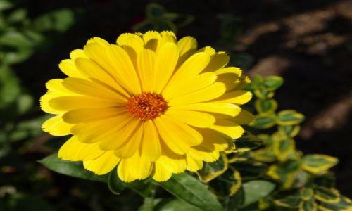 Zdjecie POLSKA / mazowsze / w ogrodzie / uśmiech jak słońca