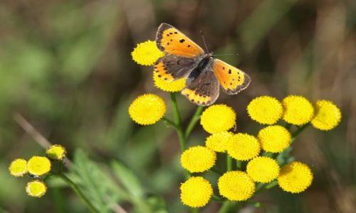 Zdjecie POLSKA / mazowsze / MPK / (motylek na kwiatku)