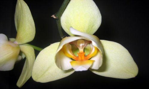 Zdjęcie POLSKA / Łódzkie / dom / orchidea 3