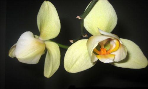 Zdjęcie POLSKA / Łódzkie / dom / orchidea 4