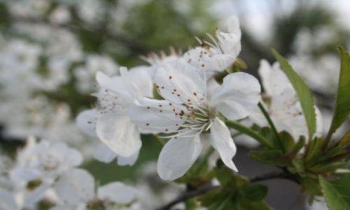 Zdjecie POLSKA / Polska / pod kamykiem / nie tylko w Japoni kwitną wiśnie