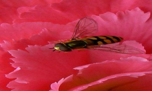 Zdjecie POLSKA / Pomorze  / Pomorze Zachodnie / na różowym kwiatku