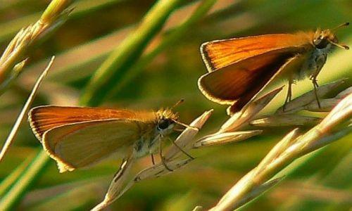 Zdjecie POLSKA / Pomorze / Pomorze Zachodnie / Motyle