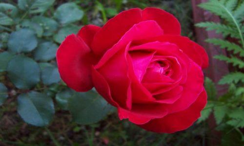 Zdjecie POLSKA / brak / brak / róża