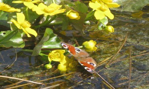 Zdjęcie POLSKA / Kurpie / Cieloszka / KONKURS Kolorowy dzień motyla