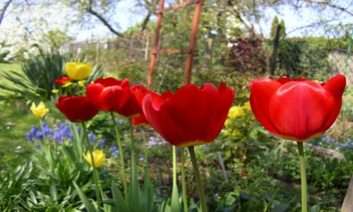 Zdjecie POLSKA / Wielkopolska / Poznań / KONKURS-tulipanki,już widać tą wiosnę ;)