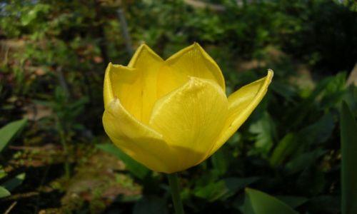 Zdjecie POLSKA / Wielkopolska / Poznań / Konkurs-tulipanek żółty