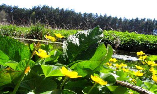 Zdjecie POLSKA / małopolska / nad rzeką Przemszą / Konkurs-szukamy śladów wiosny.Wiosenne kaczeńce nad Przemszą