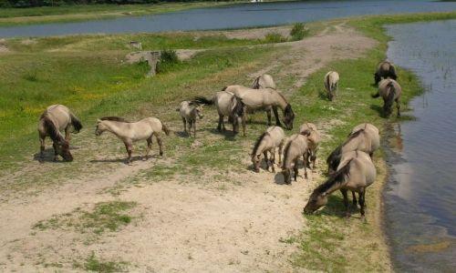 Zdjecie POLSKA / Roztocze / Zwierzyniec / Koniki polskie w Roztoczańskim Parku Narodowym