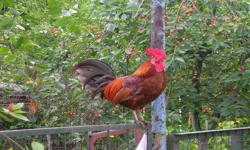 Zdjęcie POLSKA / Śląsk / ogródki działkowe / tu mój ogród  i tu moje są kury !