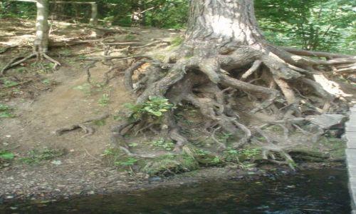 Zdjęcie POLSKA / Suwalszczyzna / Stańczyki / drzewo