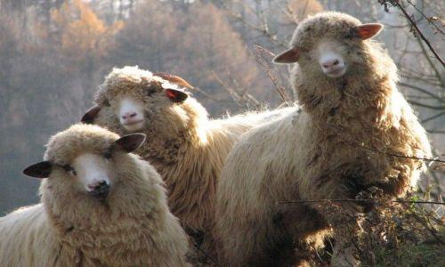 Zdjecie POLSKA / Beskid Sądecki / Wierchomla / owieczki trzy
