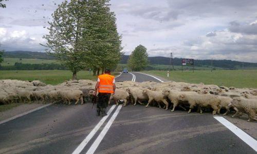 Zdjecie POLSKA / Podhale / Nowy Targ / �owce:D