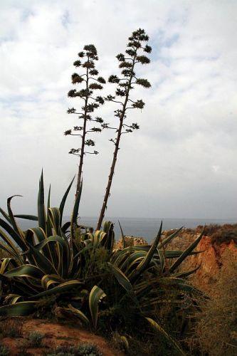 Zdjęcia: praia de rocha, algarve, agawy, PORTUGALIA