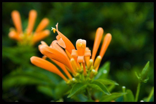 Zdjęcia: Canico, Madera, Kwiatowe maczugi, PORTUGALIA