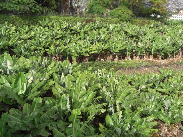 Zdjęcia: Madeira - Funchal, Plantacja bananów, PORTUGALIA