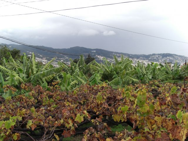 Zdjęcia: Madeira - Funchal, Winogron i bananowce, PORTUGALIA