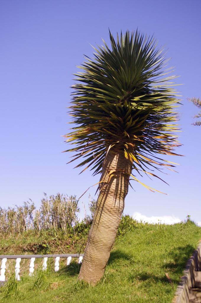 Zdjęcia: St. Miguel, Azory, drzewo smocze, PORTUGALIA