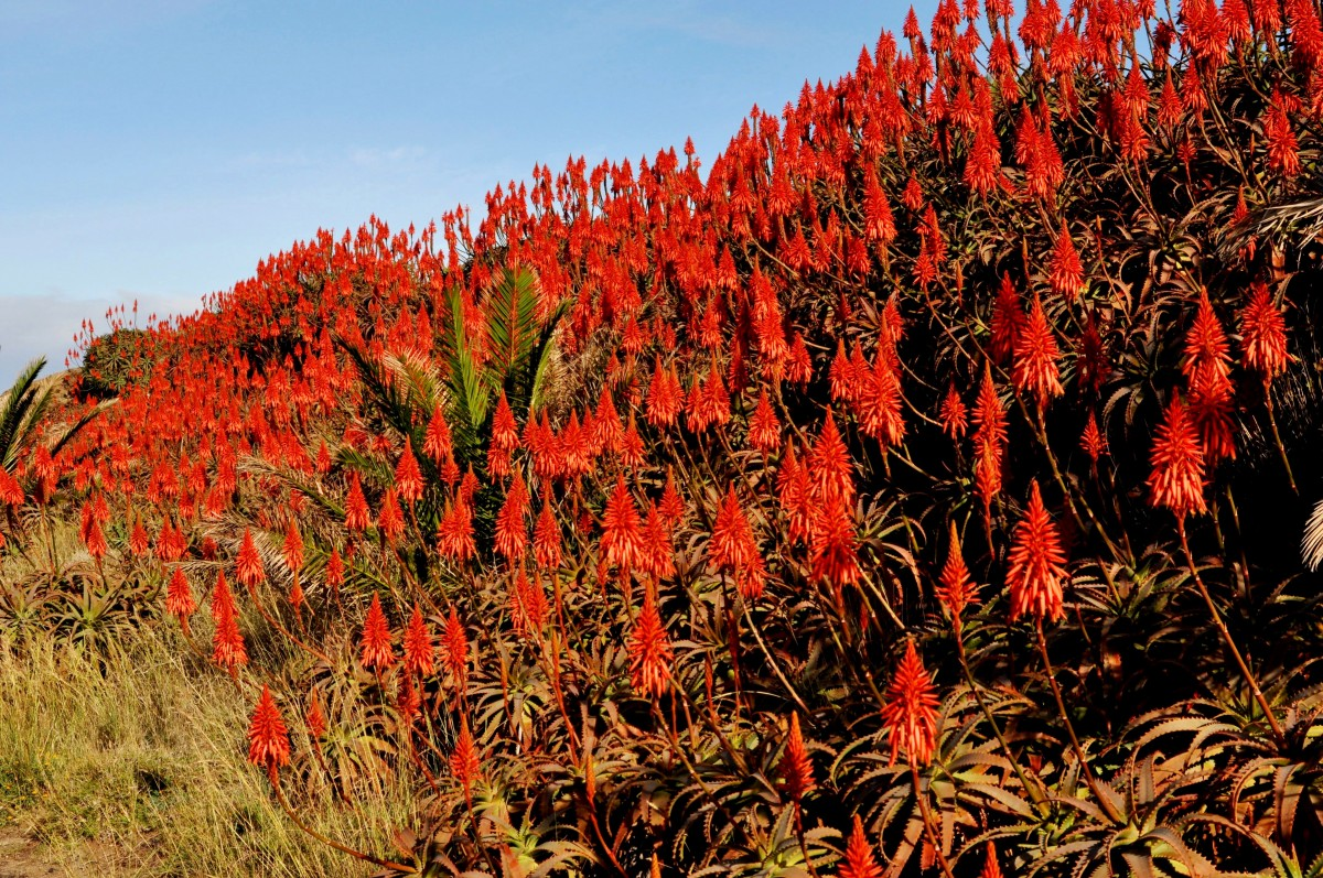 Zdjęcia: wschodnie wybrzeże, Madera, Kwiaty Aloesu, PORTUGALIA