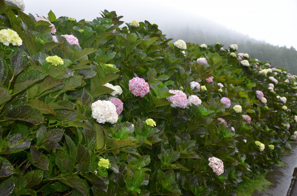 Zdjęcia: Terceira, Azory, Drogi obsadzone hortensjami, PORTUGALIA