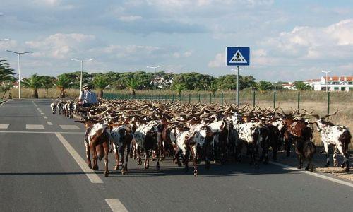 Zdjęcie PORTUGALIA / Faro / granica portugalsko-hiszpańska / kozy na na granicy