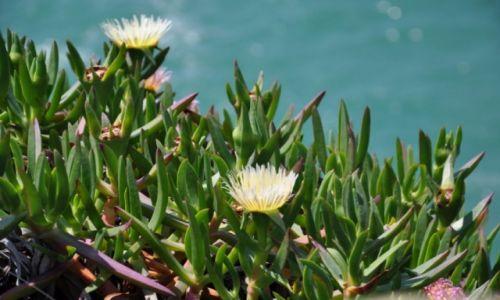 Zdjecie PORTUGALIA / Lizbona / Cabo da Roca / Kwiaty na skale Cabo da Roca