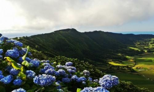 Zdjęcie PORTUGALIA / Azory / Caldeira Seca / Hortensje na kraterze