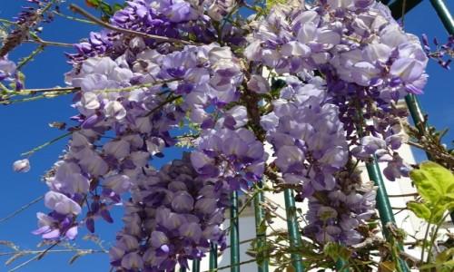 Zdjecie PORTUGALIA / Centrum / Figueira da Foz / W Portugalii kwitnie już w marcu