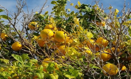 Zdjecie PORTUGALIA / Algarve / Faro / Gorzkie pomarańcze