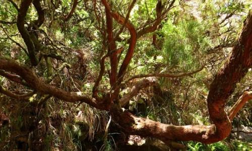 Zdjecie PORTUGALIA / Madera / Madara Centralna / drzewo wrzoścowe