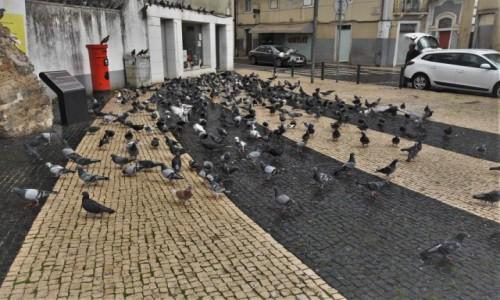 Zdjecie PORTUGALIA / Pinhal Litoral / Leiria / Leiria, gołębie