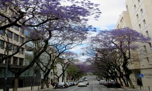 Zdjecie PORTUGALIA / - / Lizbona / drzewa zakwitają tu na fioletowo...