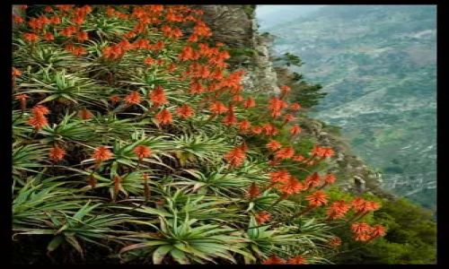 Zdjecie PORTUGALIA / Madera / Eira do Serrado / Aloes