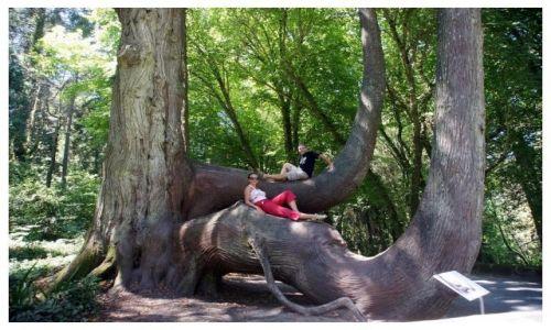 Zdjecie PORTUGALIA / Sintra / park pałacowy / Słoniowe drzewo