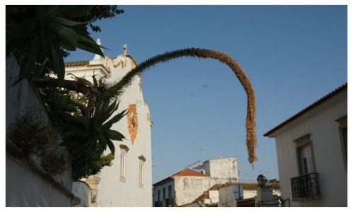 Zdjecie PORTUGALIA / Algarve / Tavira / Zwis roślinny
