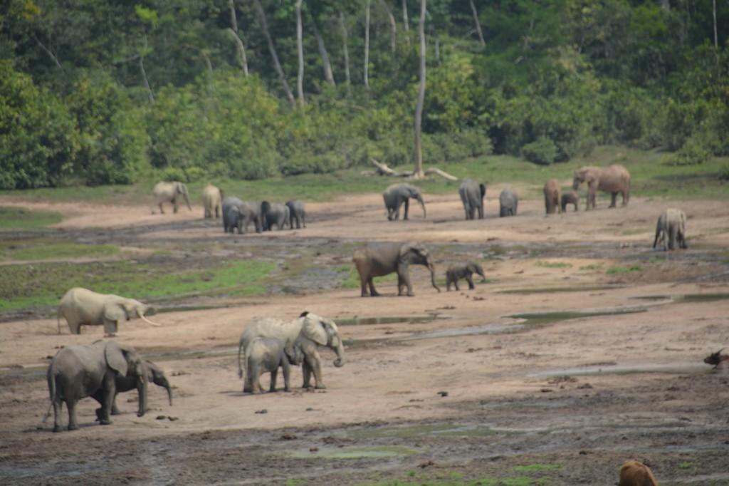 Zdjęcia: Park Narodowy Dzanga Sangha, Sangha, Dzanga Bai, REPUBLIKA ŚRODKOWEJ AFRYKI