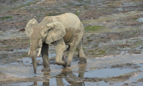 Zdjęcie REPUBLIKA ŚRODKOWEJ AFRYKI / Sangha / Park Narodowy Dzanga Sangha / Słoń leśny