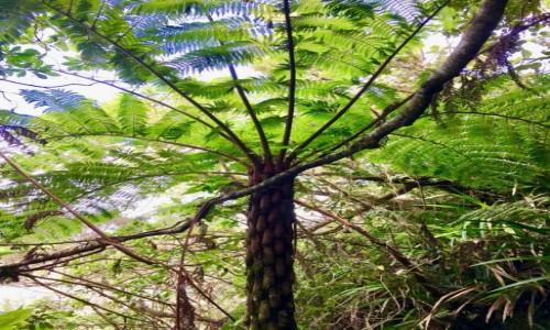 Zdjęcie REUNION / Reunion / Reunion / Moja ulubienica- paproć drzewiasta, drzewo prehistoryczne