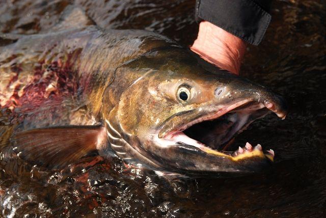 Zdj�cia: Rzeka Opala, Kamczatka, �oso� keta, ROSJA