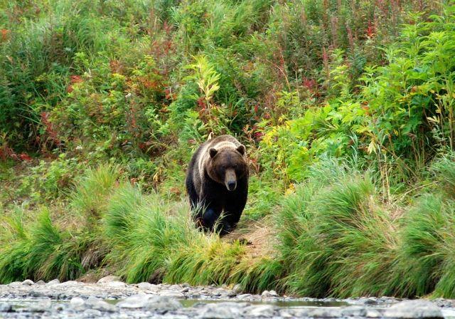 Zdjęcia: Nad rzeką Opalą, Kamczatka, Grizzly goniący łososie, albo mnie;), ROSJA
