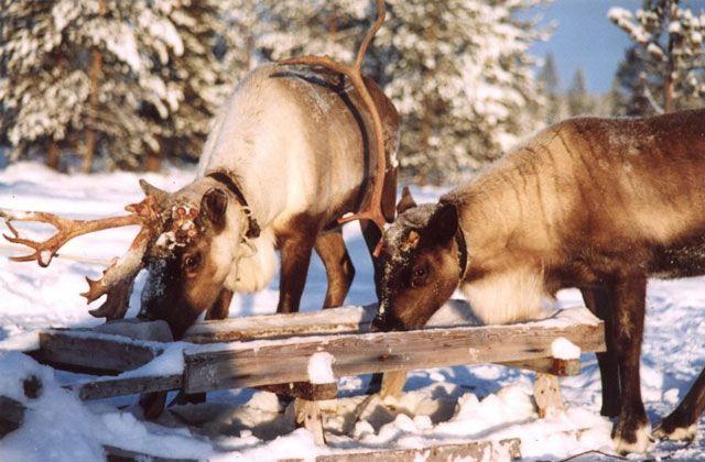Zdjęcia: tundra, okolice Lovozero, Półwysep Kolski, renifery, ROSJA