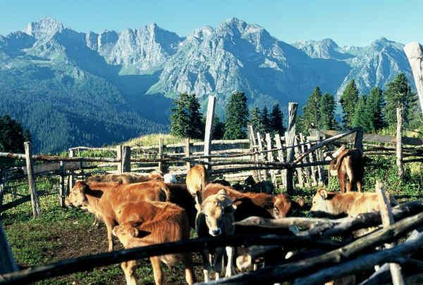 Zdjęcia: Kaukaz, Kaukaz, Zagroda z bydłem, ROSJA
