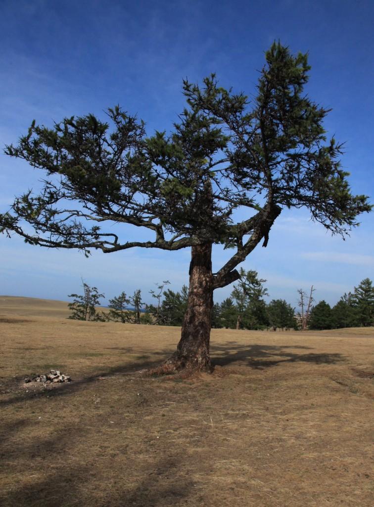 Zdjęcia: Wyspa Olchon, Bajkał, Drzewo, ROSJA